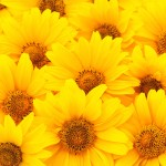 Nature background. Beautiful yellow Sunflowers petals closeup.